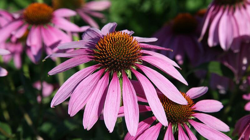 Echinacea purpurea, a component of Veseys' seed mix, which incidentally is perfectly fine to plant | Photo: Daniel Schwen, some rights reserved