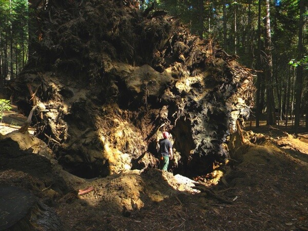 A firefighter looks at the root wads of both trees   Photo Courtesy Sequoia National Forest