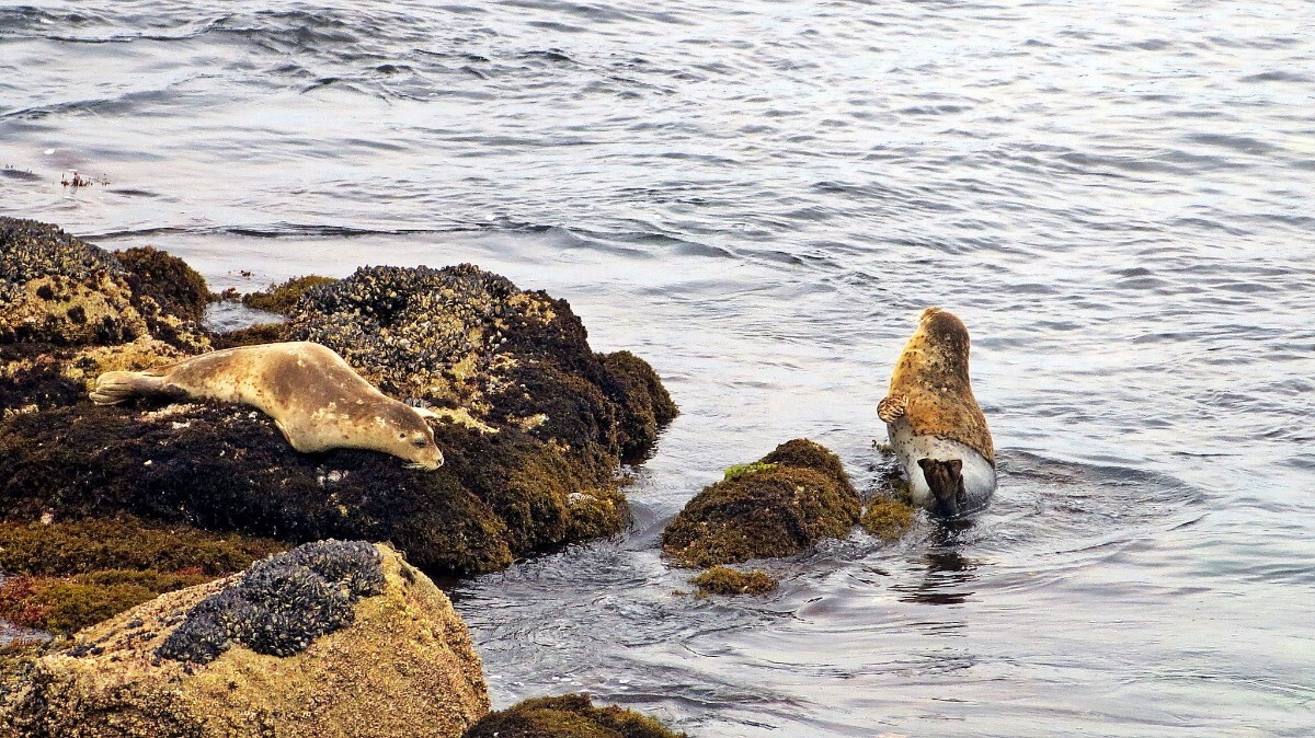 Seal on Monterey, California coast | Flickr: Geoff Dude | Some Rights Reserved