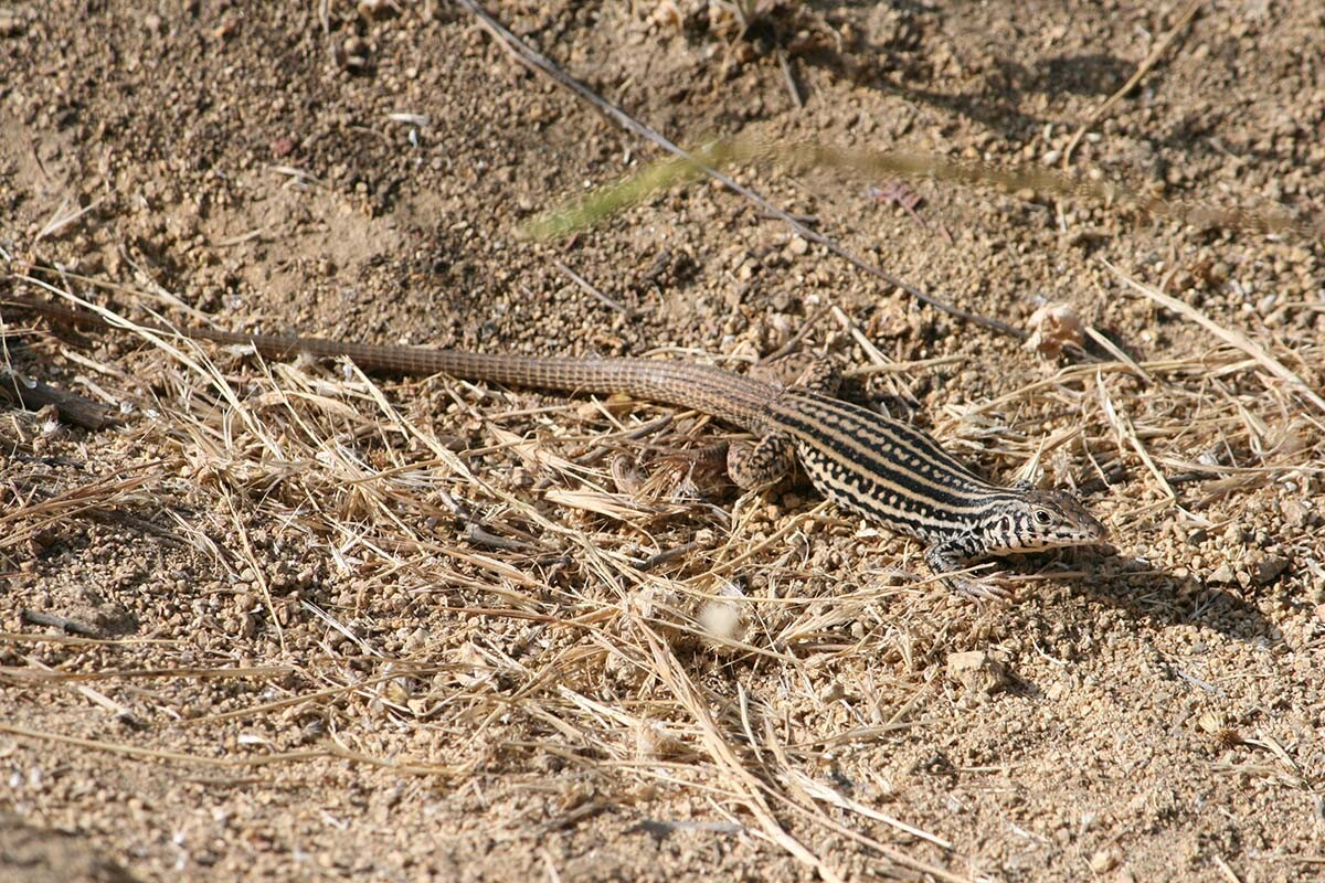 Western whiptail lizard (Aspidoscelis tigris) of Griffith Park| Courtesy of Gerry Hans