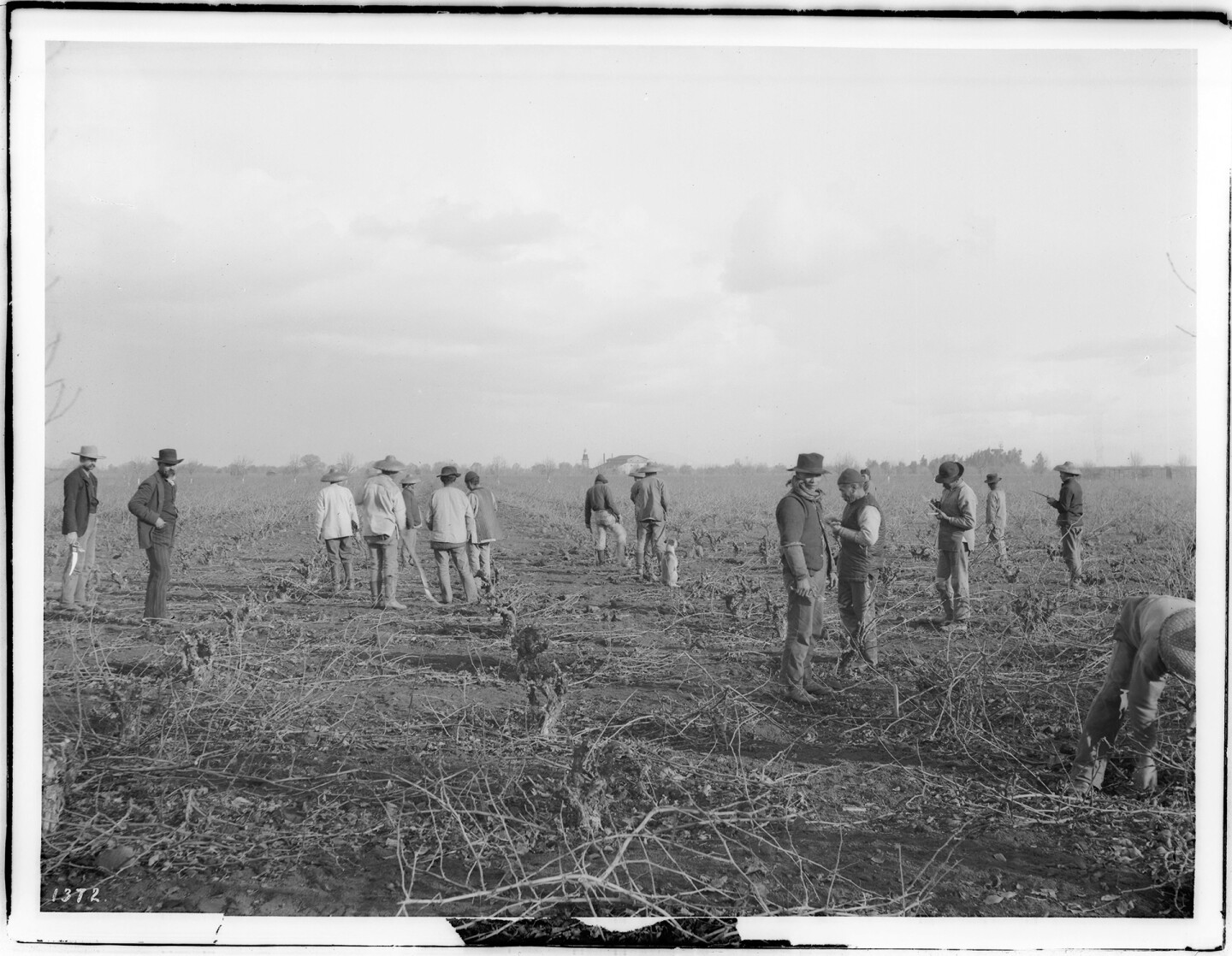 Chinese Farm Workers Pruning a Vineyard ca. 1900s