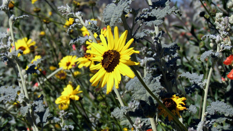 A sunflower at Rio de Los Angeles State Park.   Sandi Hemmerlein