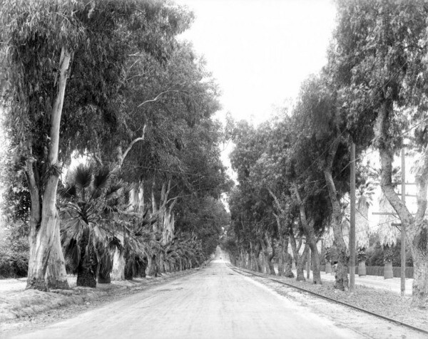 In Riverside, pepper trees (right) were planted across from eucalyptus trees. Palm trees were added later. Courtesy of the USC Libraries - California Historical Society Collection.