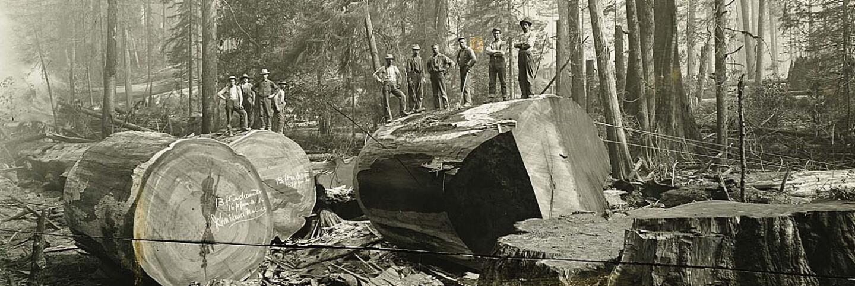 Redwood stumps