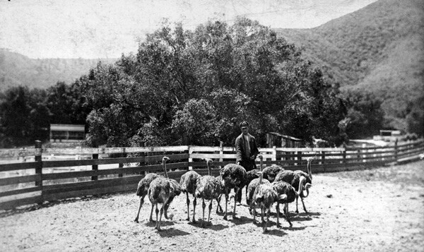 A precursor to Griffith Park, Charles Sketchley's ostrich farm welcomed visitors to Rancho Los Feliz from 1885 to 1889. Courtesy of the California Historical Society Collection, USC Libraries.