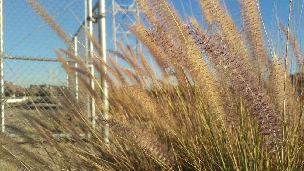 Fountain grass growing on G2 parcel at Taylor Yard. | Jenny Aleman-Zometa