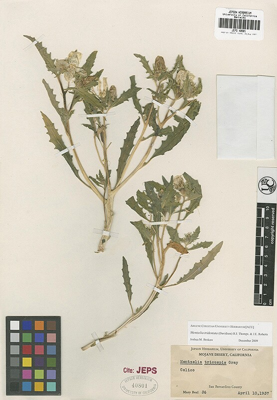 Plant specimen collected by botanist Mary Beal