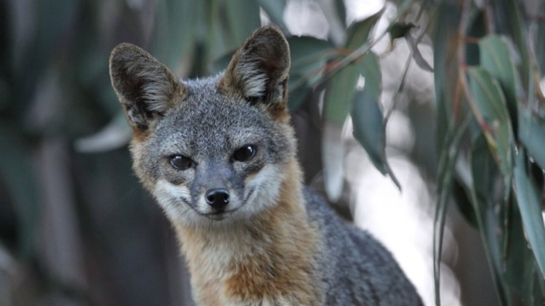 A Santa Cruz Island Fox. | Photo: Courtesy The Nature Conservancy