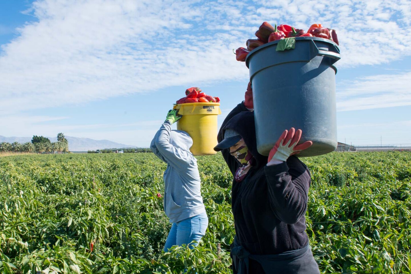 After the vaccine presentation, the farmworkers returned to the fields. They often work closely together, making physical distancing impossible.