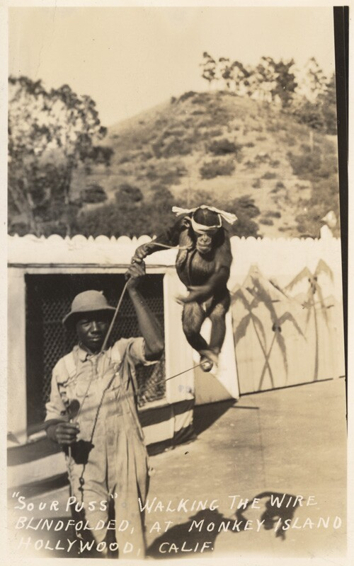 """""""Sour Puss"""" walking the wire blindfolded at Monkey Island, Hollywood, Calif."""