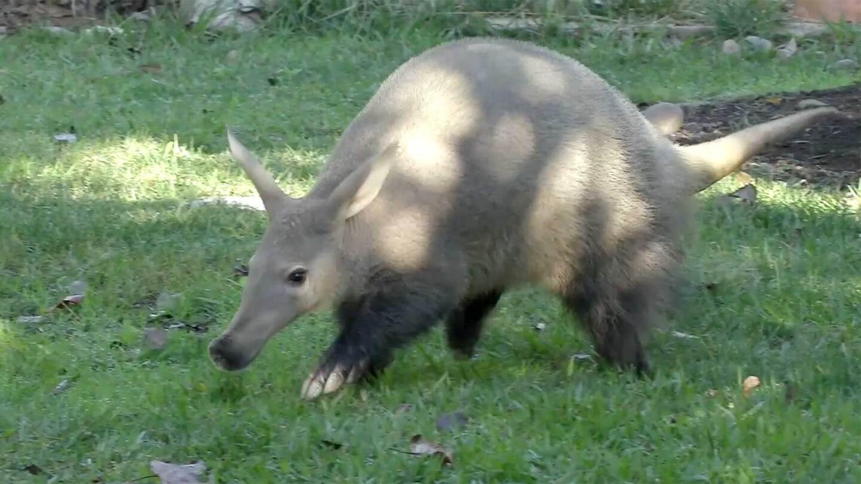 Zola the Aardvark