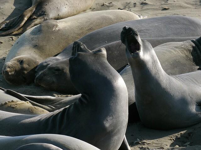Elephant Seals at Piedras Blancas |