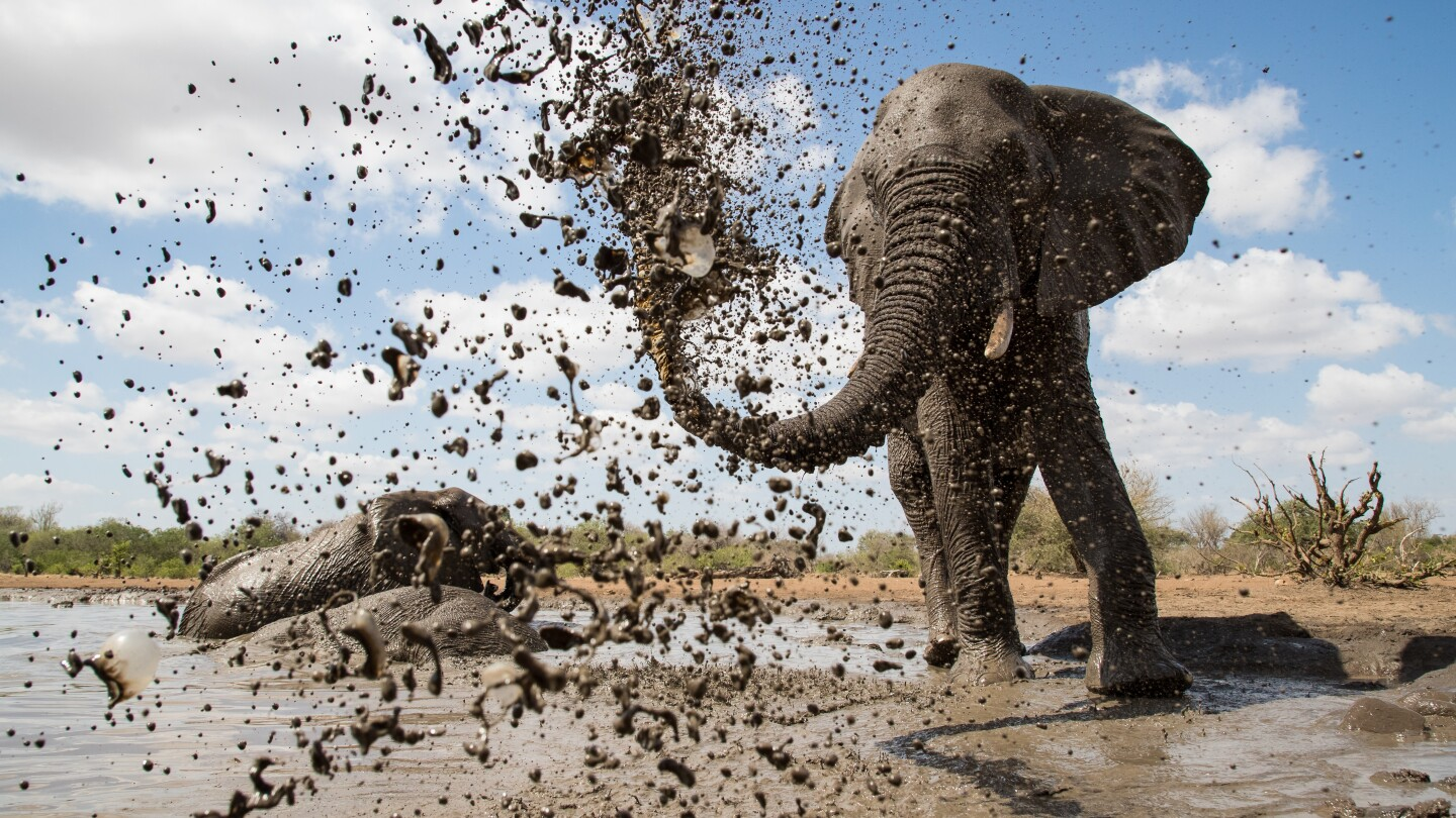 "An African elephant sprays mud over itself to keep cool and protect its skin under the intense African sun, from ""Life at the Waterhole""."