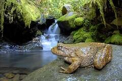 A Yellow-Legged Frog