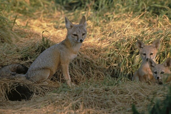 San Joaquin kit fox.   Photo: courtesy USFWS