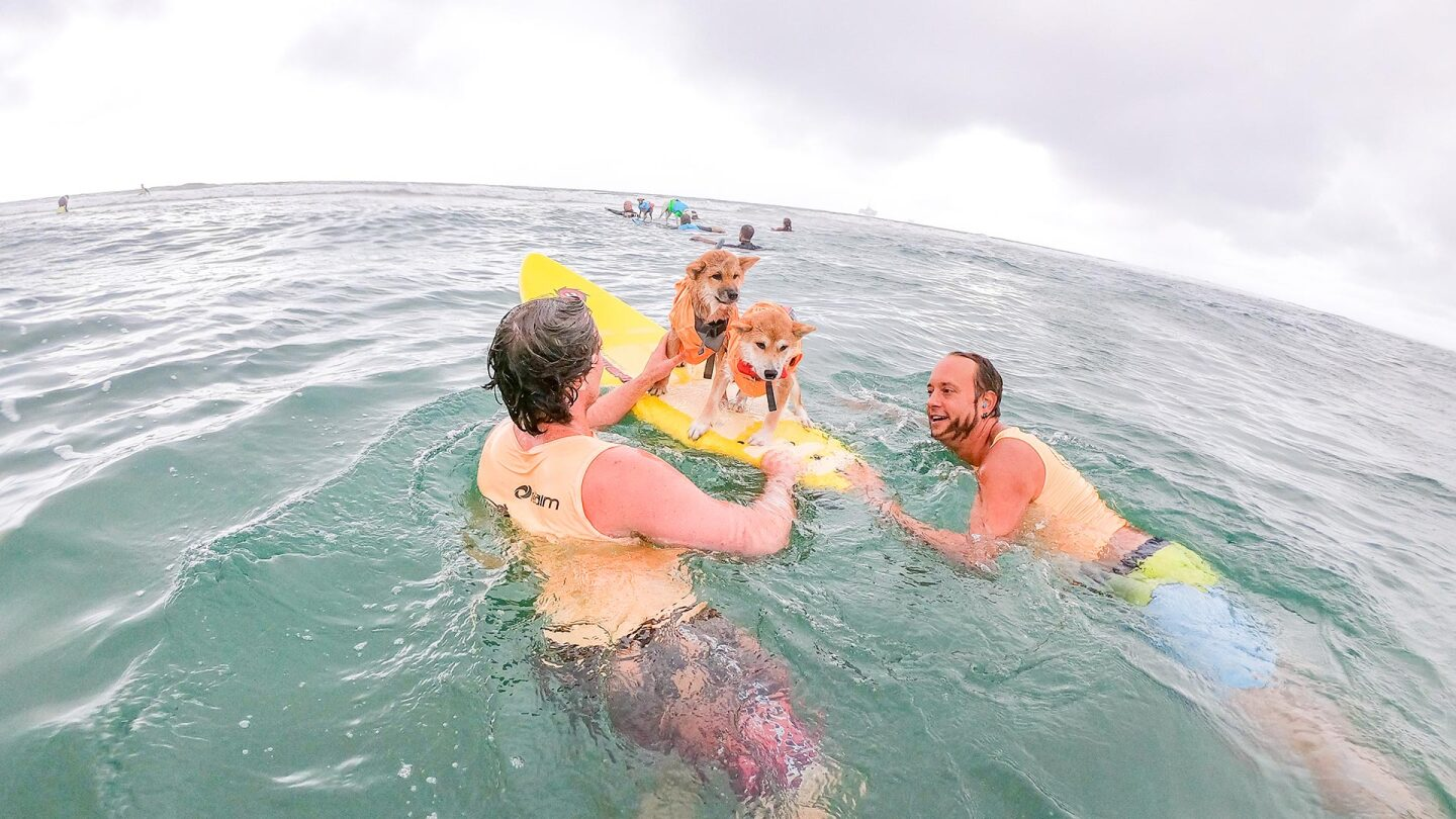Two dogs being helped by humans on top of a surfboard