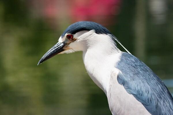 A black-crowned night heron.