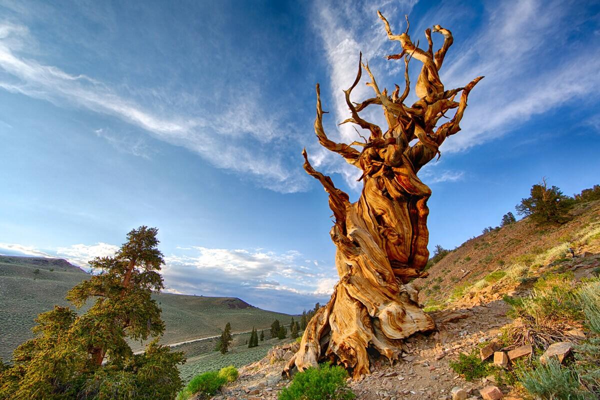 Bristlecone Pine | Chao Yen/Flickr
