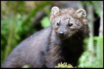 A Pacific Fisher.   Photo: Courtesy Washington Dept. of Fish and Wildlife