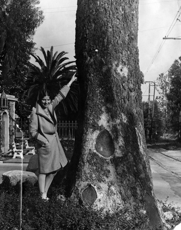 This massive sycamore in the Forest Lawn cemetery doubled as a survey point when Rancho San Rafael was partitioned in 1871. Courtesy of the Photo Collection, Los Angeles Public Library.