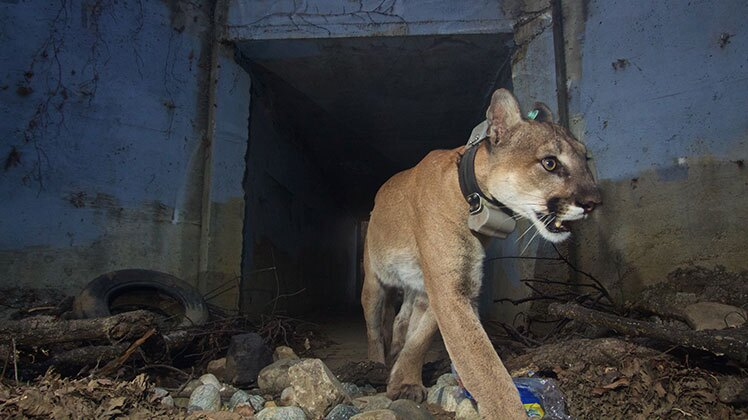The adult mountain lion known as P-64 crosses under a small culvert under the 101 freeway heading south. | National Park Service / Public Domain