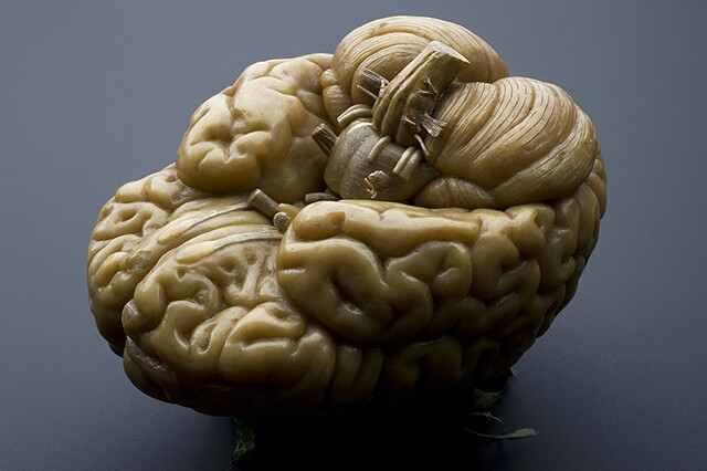 Wax model of a human brain, early19th century | Photo: Wellcome Image (CC BY 4.0)