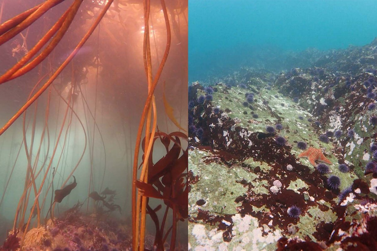 """Comparison of area once covered by a bull kelp forest (left) and now only sea urchin are left.   Still from """"Earth Focus"""""""