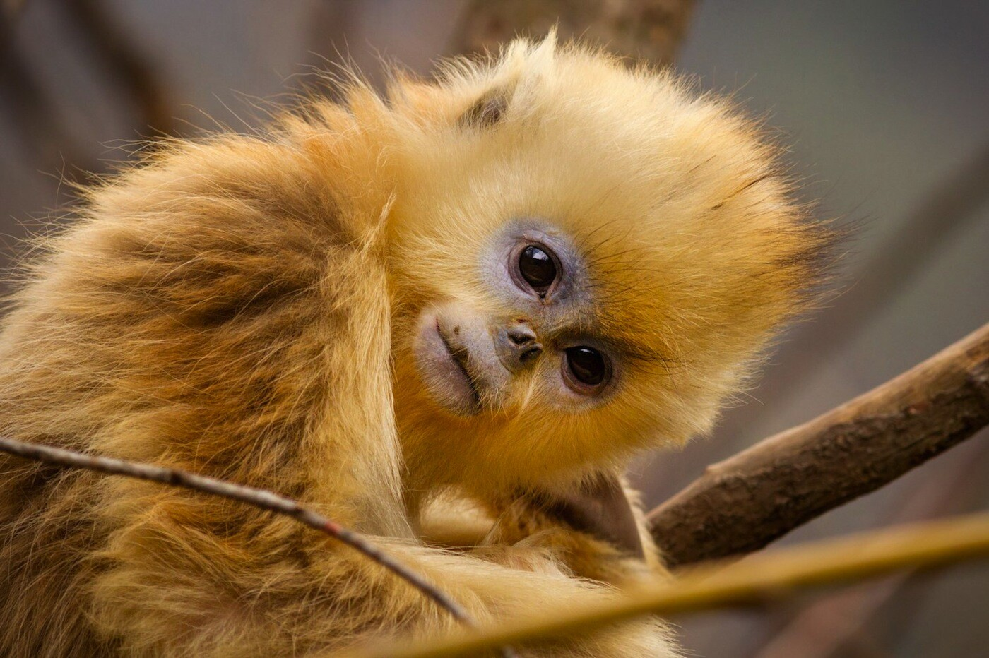 "Disneynature's ""Born in China"" captures the threatened golden snub-nosed monkey"