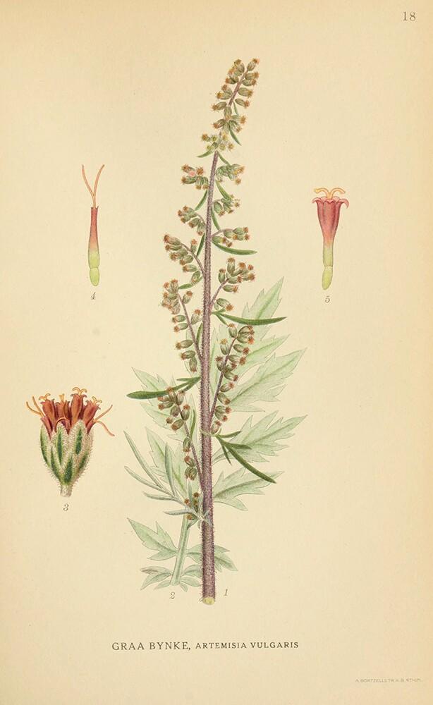 Mugwort | Biodiversity Heritage Library | Norden's Flora, 1923, public domain