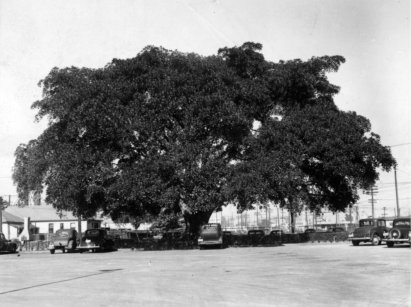 Andrew Cooper planted this Moreton Bay fig tree in Los Angeles in 1876. By the time of this 1946 photo, the spreading giant was surrounded bya parking lot for a Shell Oil facility.