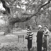 Descanso Gardens' Old Verdugo, an ancient oak that doubled as a survey marker