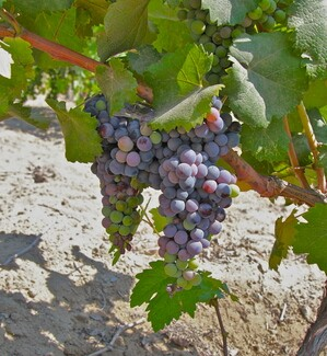 Thumbnail image for Grapes in Wineville
