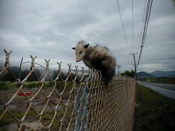 opossum-6-10-14-thumb-600x450-75350