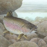 Steelhead Trout | Image by Timothy Knepp/U.S. Fish and Wildlife Service