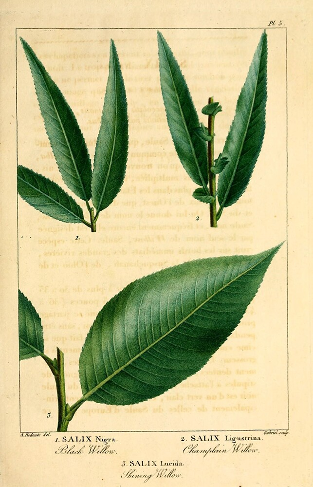 Willow | Biodiversity Heritage Library | Histoire des arbres forestiers de l'Amérique septentrionale,1812 (CC BY-NC-SA 2.0)
