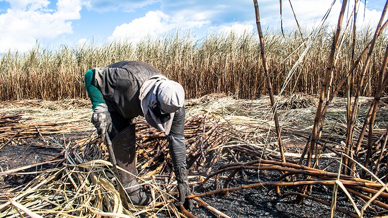 Working a burned cane field in Piracicaba, Brazil | Photo: iStockPhoto