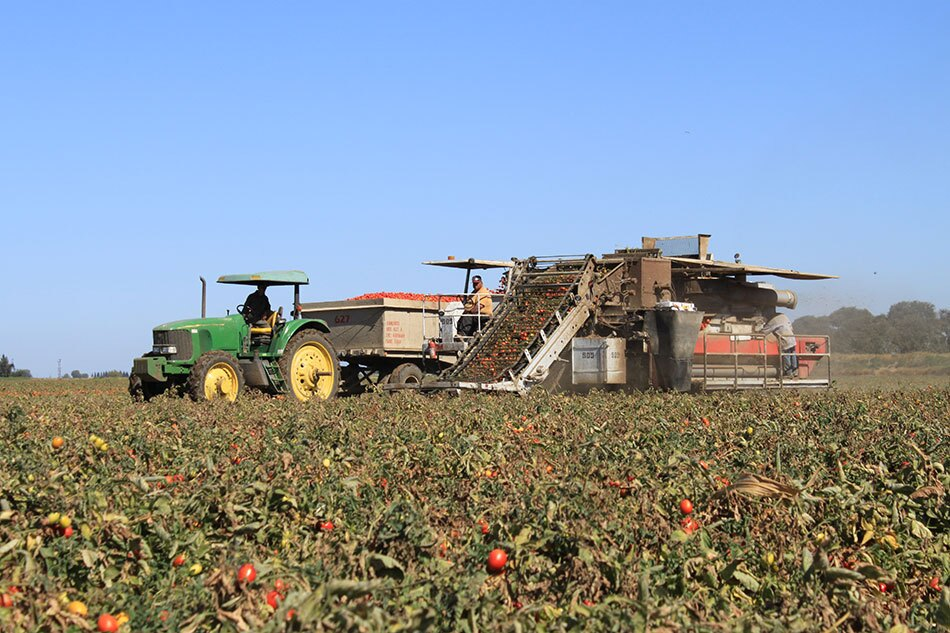 Tomato Field with Harvesting Vehicles