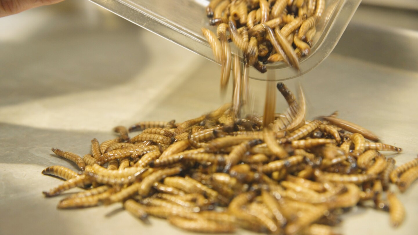 Don Bugito's Toasted Mealworms | Yubo Wang