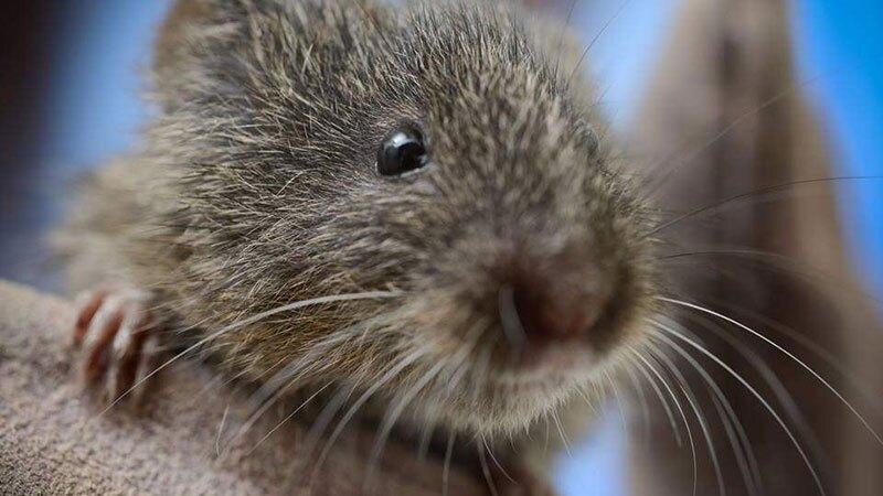 At extinction's door; the Amargosa vole   Photo: UC Davis