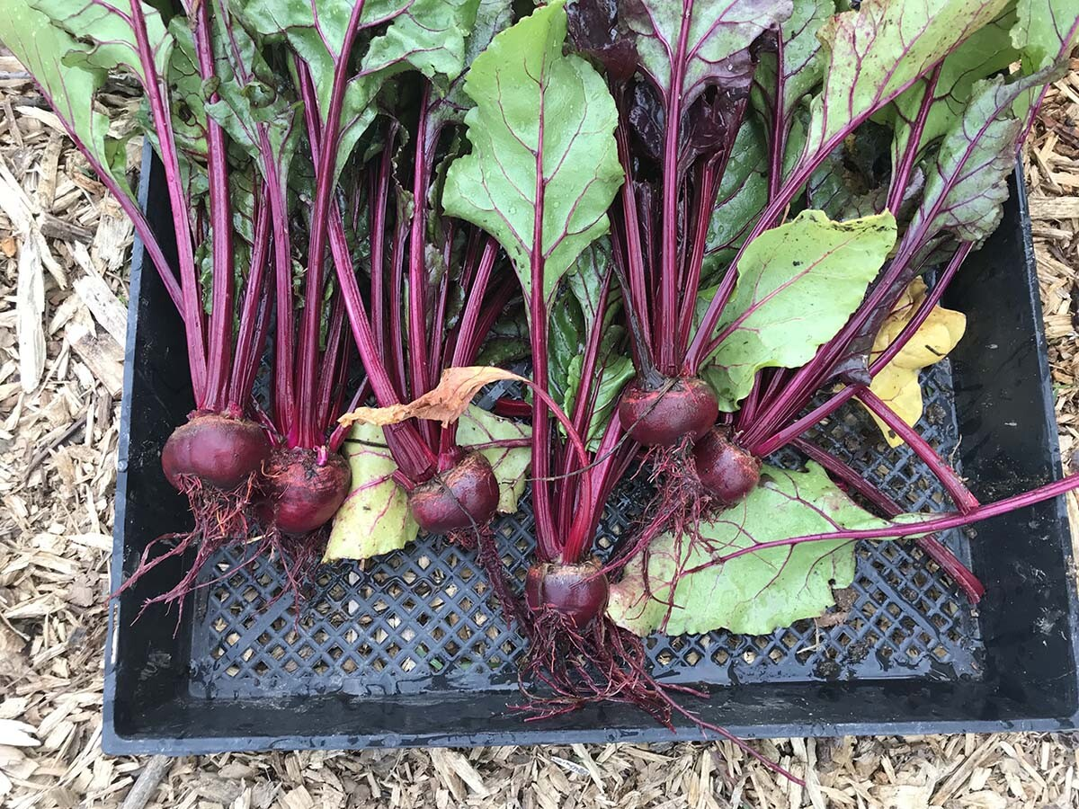 Beets harvested at the AHS garden earlier this year | Marianne Zaugg