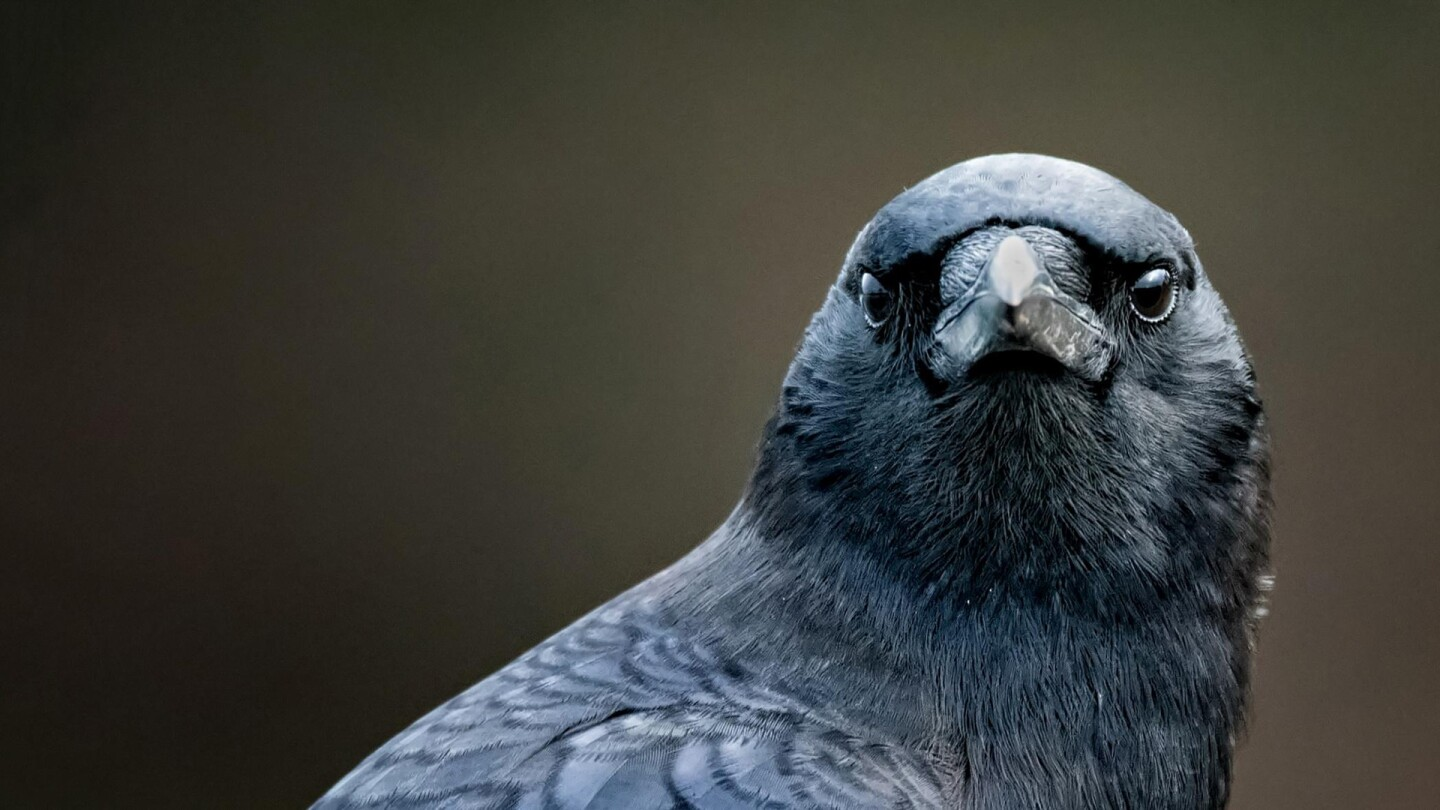 A dark-feathered bird stares straight into the camera.