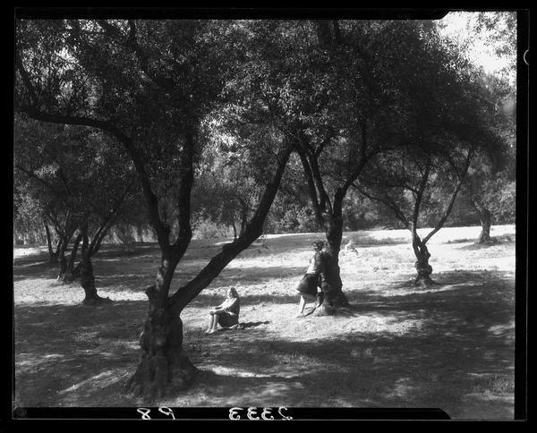 ucla_olive_trees.jpeg