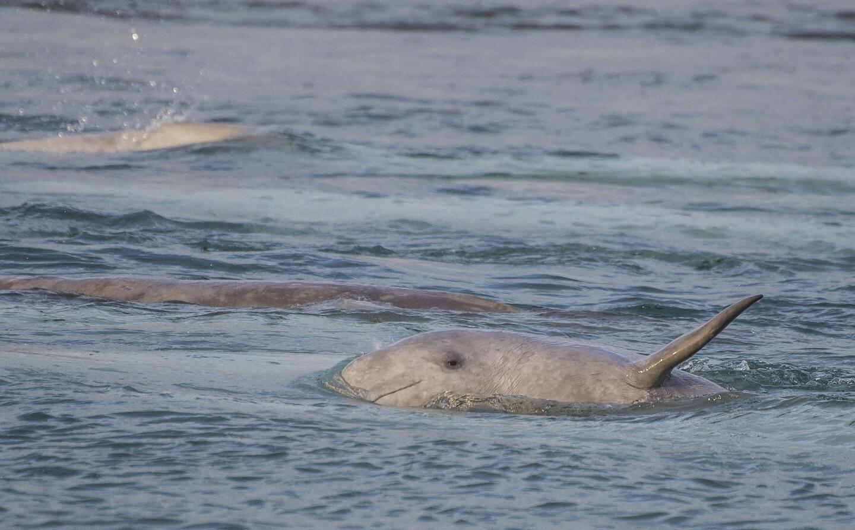 Arctic Beluga Whale Calf | Valeria Vergara, Ocean Wise