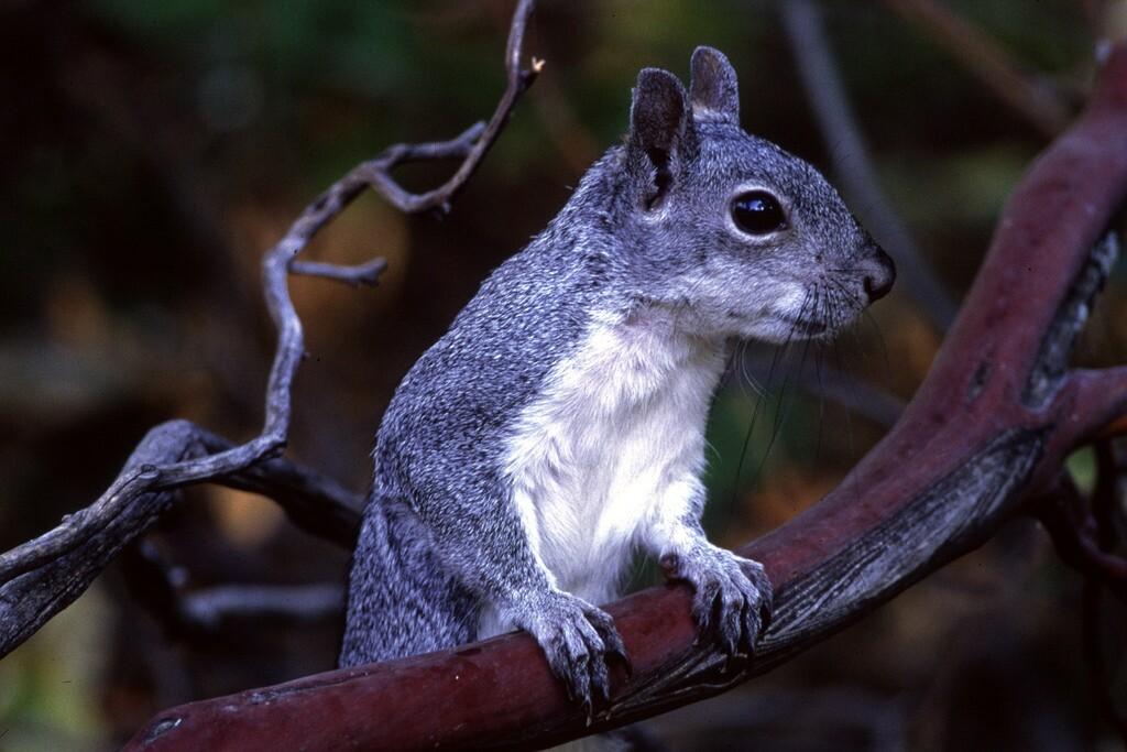gray-squirrel-on-manzanita-3-29-16.jpg