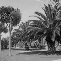 Palm trees on Figueroa Street south of 16th Street circa 1890. Courtesy of the Title Insurance and Trust / C.C. Pierce Photography Collection, USC Libraries.
