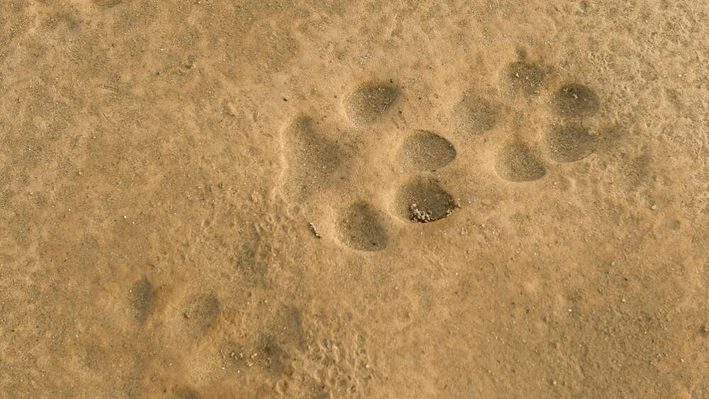 Coyote tracks at Afton Canyon | Photo: David Lamfrom
