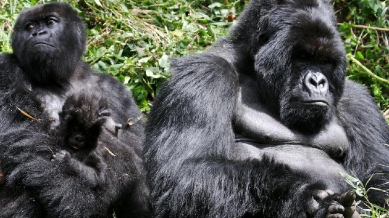 gorilla630