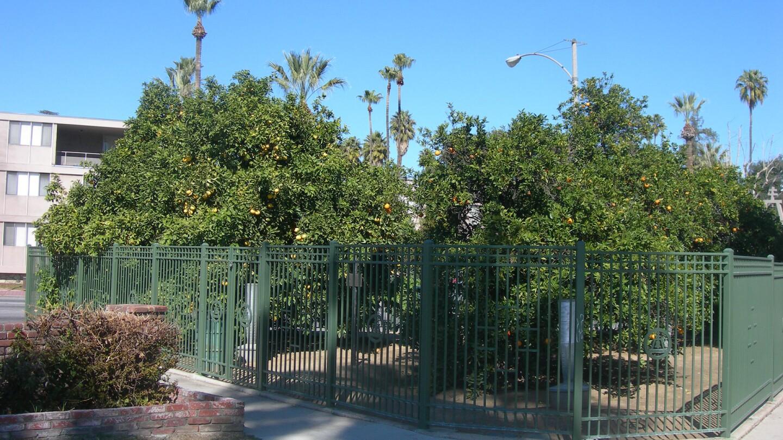 Parent Washington Navel Orange Trees