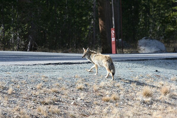 In Yosemite, they look both ways before crossing the road. Chris Clarke photo
