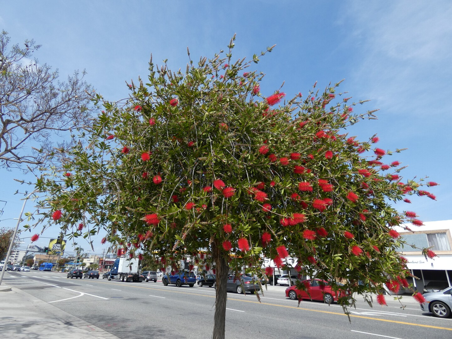 Varying sizes of the weeping bottlebrush tree can be seen on Overland Avenue.